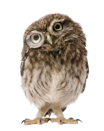 great grey owl isolated on white background