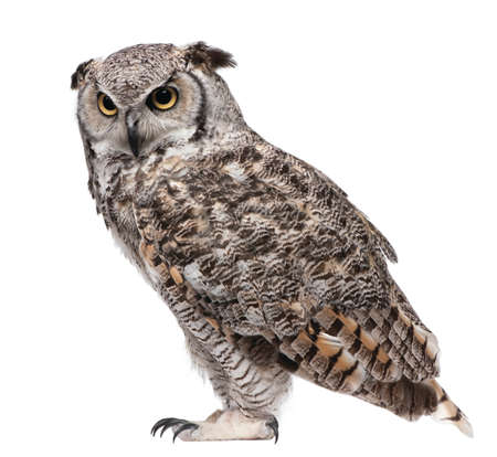 great horned owl isolated on white background 版權商用圖片