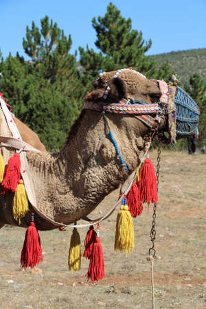 Camel foot and camel portrait