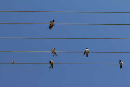 Many swallows sitting on the wires against blue sky background  Barn swallow (Hirundo rustica).