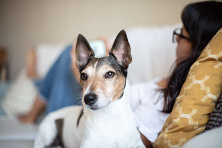 Head portrait of an alert little dog looking off to the side indoors at home as it lies on a sofa alongside a young woman Foto de archivo