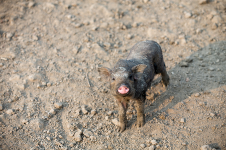 Little black pig standing