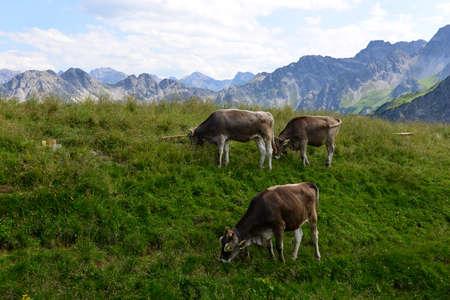 mountain meadow: Cows on a mountain meadow, Alpe Allgaeu in the alps