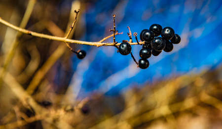 good weather: Black berries on a branch