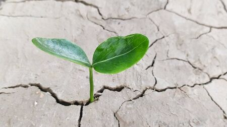 Seedling of green leaf plant sprouting from cracked mud . Little sprout on cracked clay .