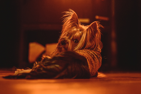 cute dog breed Yorkshire Terrier with pigtail on a blurred bright background 写真素材