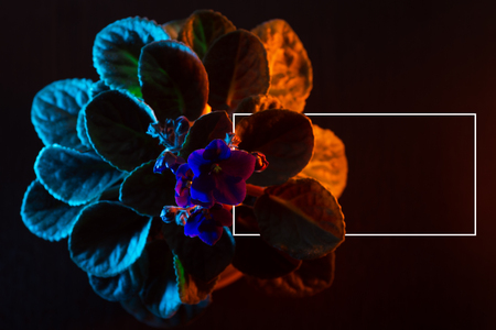 violet flower with leaves in a pot, illuminated by colored neon Standard-Bild