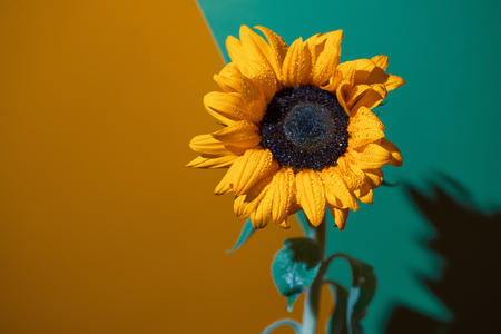 bright Sunny sunflower with dew drops on yellow petals on colored background