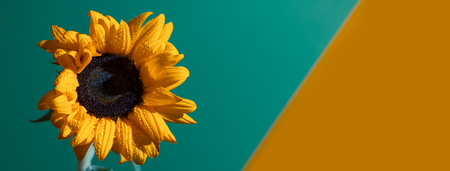 a bright Sunny sunflower with dew drops on yellow petals on colored background Stock Photo