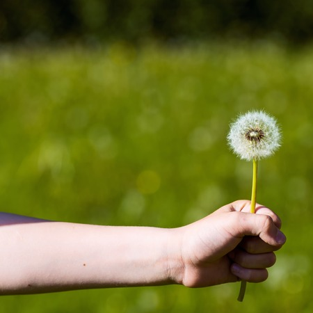 summer fluffy dandelion in hand on a green background in a clearing