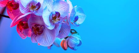 delicate pink Orchid with dew drops close up on blue background in neon light 스톡 콘텐츠