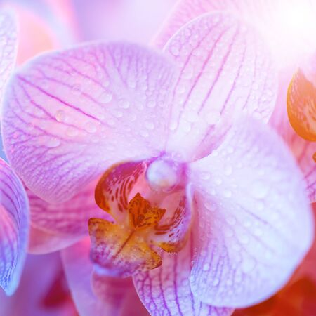 delicate pink Orchid with dew drops close up on blue background in neon light