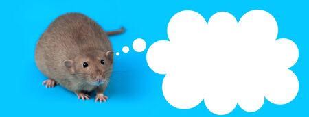 portrait of a domestic rat on a blue background 写真素材