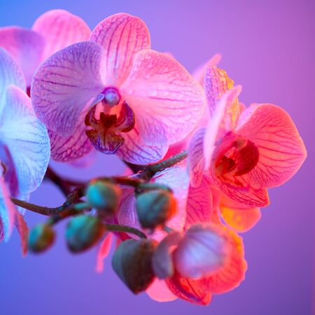 delicate pink Orchid with dew drops close up on blue background in neon light 版權商用圖片
