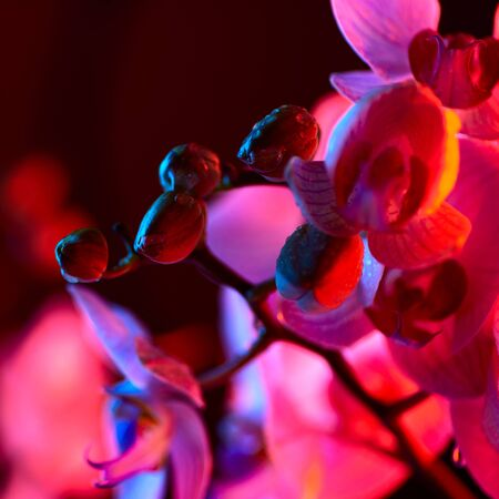 delicate pink Orchid with dew drops close up on blue background in neon light 免版税图像