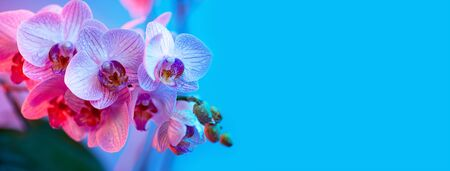 delicate pink Orchid with dew drops close up on blue background in neon light Stock Photo