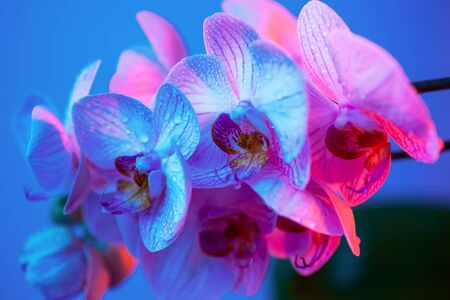 delicate pink Orchid with dew drops close up on blue background in neon light Imagens