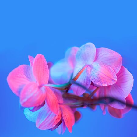 delicate pink Orchid with dew drops close up on blue background in neon light Foto de archivo - 132231795