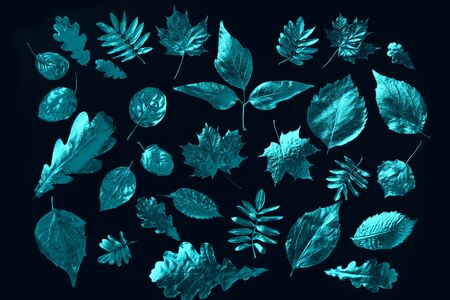 composition of different mint autumn leaves in neon light on black background Zdjęcie Seryjne - 133459782