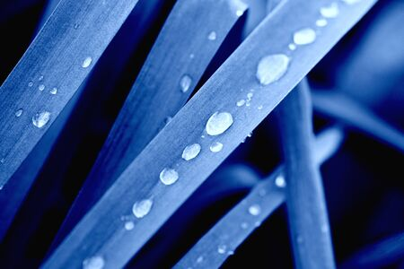 Classic Blue. Color of the Year 2020. Grass in dew drops.