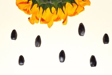 Yellow sunflower and sunflower seeds on a white background. Summer concept.
