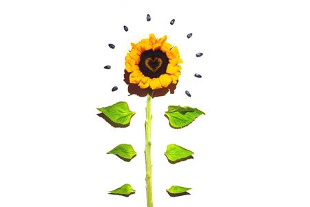 Yellow sunflower and sunflower seeds on a white Stockfoto - 146597508