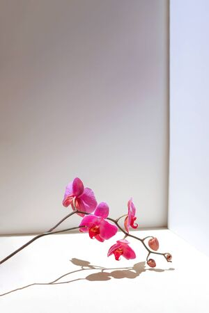 Geometric composition with pink orchid on a white background. Angles, shadows and perspective in the frame. Stockfoto - 147109389