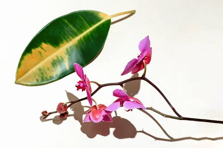 Geometric composition with pink orchid on a white background. Angles, shadows and perspective in the frame. Stockfoto - 147109635
