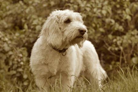 white dog: Vintage white dog
