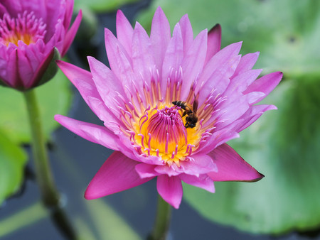 waterlilly: image of pink waterlilly flower and bee in pond
