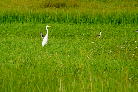 the white bird Great Egret Ciconiiformes in green meadow field Stock Photo