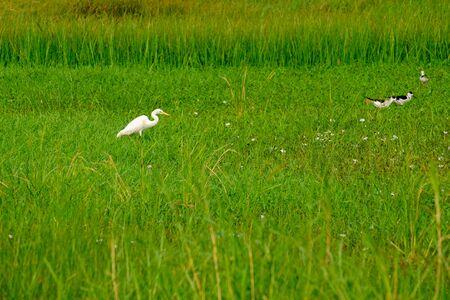 the white bird Great Egret Ciconiiformes in green meadow field 版權商用圖片