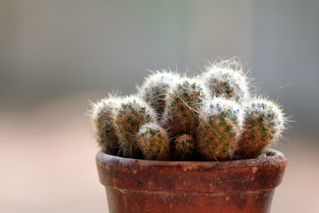 samll cactus in pot close up soft background