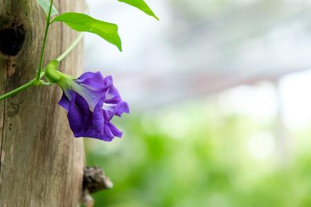 violet beautiful flower blur background with copy space Reklamní fotografie