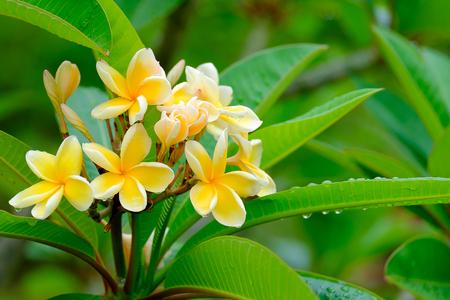 Yellow Plumeria  or frangipani flower