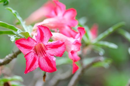 Desert rose,Adenium obesum Reklamní fotografie