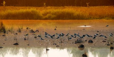 group of many bird in field ,panorama Фото со стока