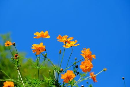 Orange cosmos flower Reklamní fotografie