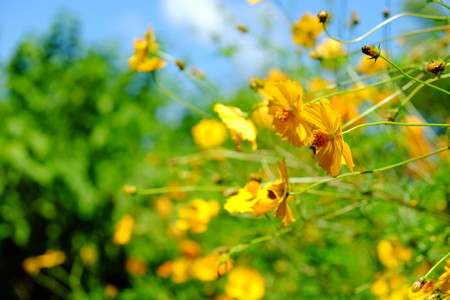 Yellow Cosmos flower and blue sky Reklamní fotografie - 107625111