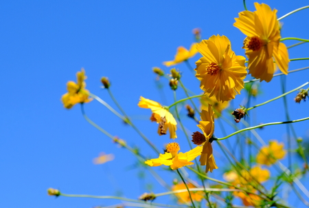 Yellow Cosmos flower and blue sky Reklamní fotografie - 107625196