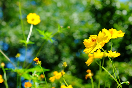 Yellow Cosmos flower and blue sky Reklamní fotografie - 107625202