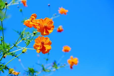 Orange cosmos flower Banco de Imagens
