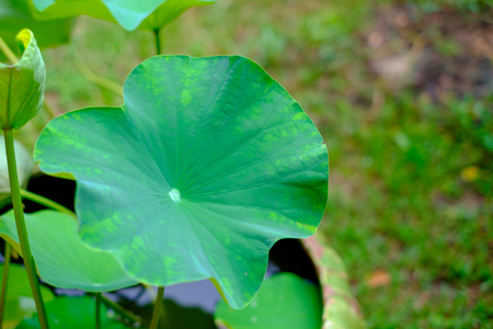 The side view of green lotus leaf with drop of fresh water close up ,for backdrop and background Reklamní fotografie