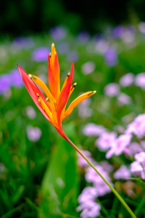 Bird of Paradise Flower with green blur background,Strelitzia Reginae flower closeup Reklamní fotografie - 108025408