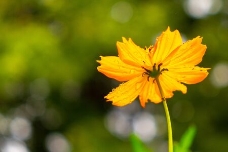 Yellow Cosmos flower on rainy day with blur background.