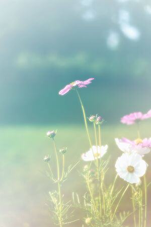 beautiful vintage cosmos flower field photo soft or selective focus for background backdrop