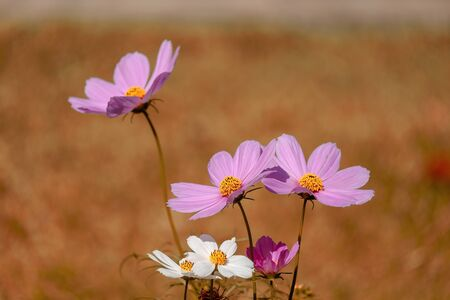 colorful cosmos flower field soft focus for backdrop or background or wallpaper