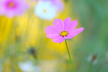 beautiful pink cosmos flower with blur background for backdrop and wallpaper or background use.