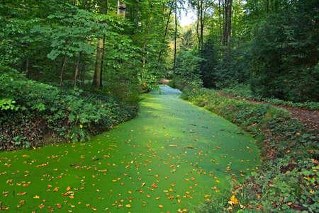 algas verdes: Peque�o r�o en el bosque cubierto con una alfombra de algas verdes