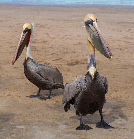 pelicans: Two Pelicans on a Beach in Mexico